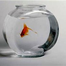 Popular misconception: Glass bowls do not protect innocent goldfish from oncoming traffic.